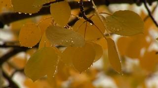 Aspen Leaf Drops