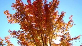 Autumn Tree Long Play