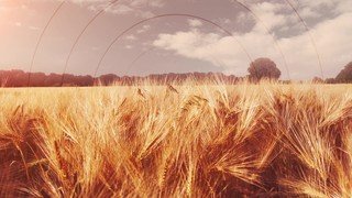 Golden Hour Wheat Radial
