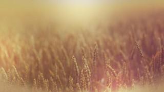 Harvest Gold Wheat 1