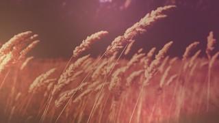 Harvest Gold Wheat 2