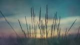 Last Light Wheat