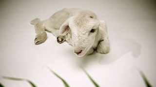 Palm Sunday Lamb