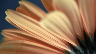 Texture Petals