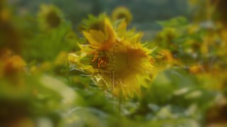 Muted Spring Sunflower