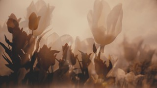 Muted Spring Tulips